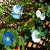Ipomoea tricolor