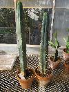 Echinopsis lageniformis